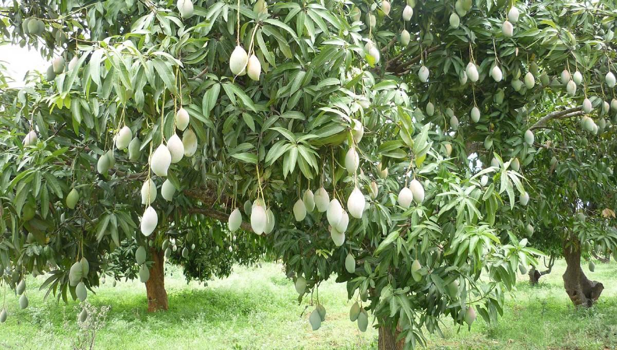 CISH develops mango varieties with medicinal properties