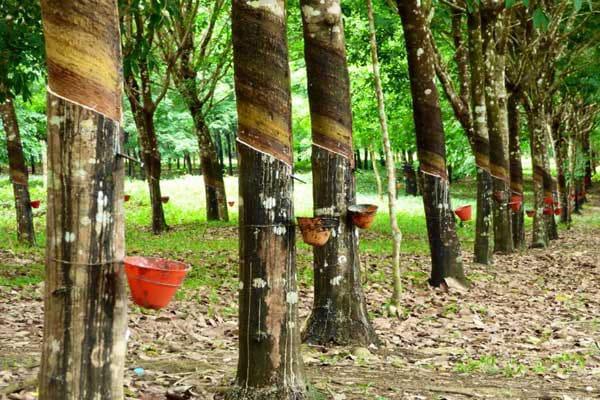 Rubber cultivation providing platform to rebuild Covid hit rural economy
